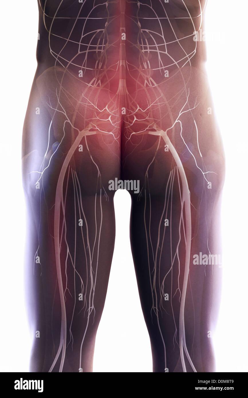 Hintere Ansicht der Nerven und Knochen des unteren Rücken und ...