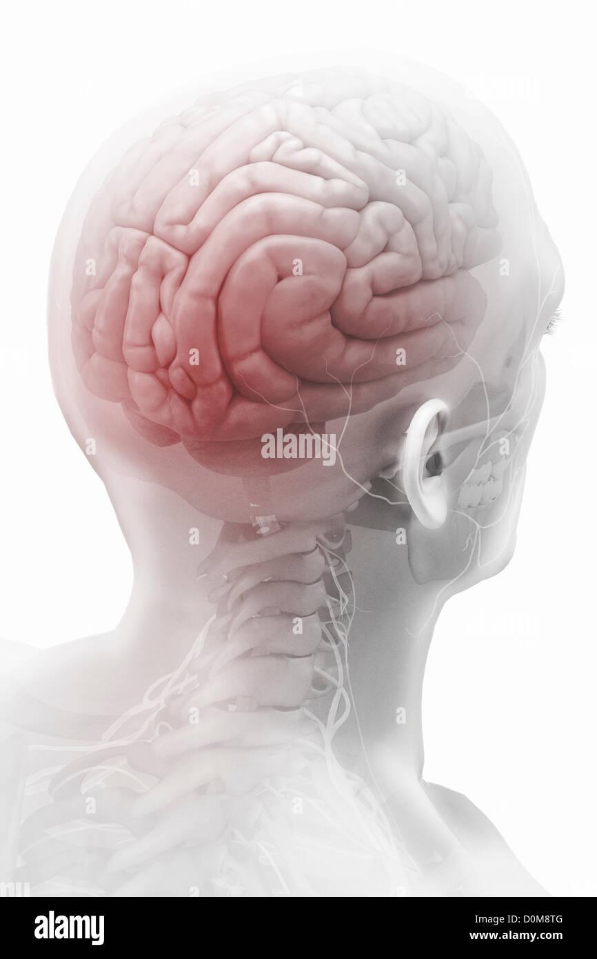 Das Gehirn im Kopf und Schädel von hinten gesehen. Umliegende Nerven ...