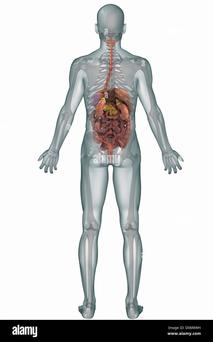Atemberaubend Menschliche Körper Abbildungen Verdauungssystem Ideen ...
