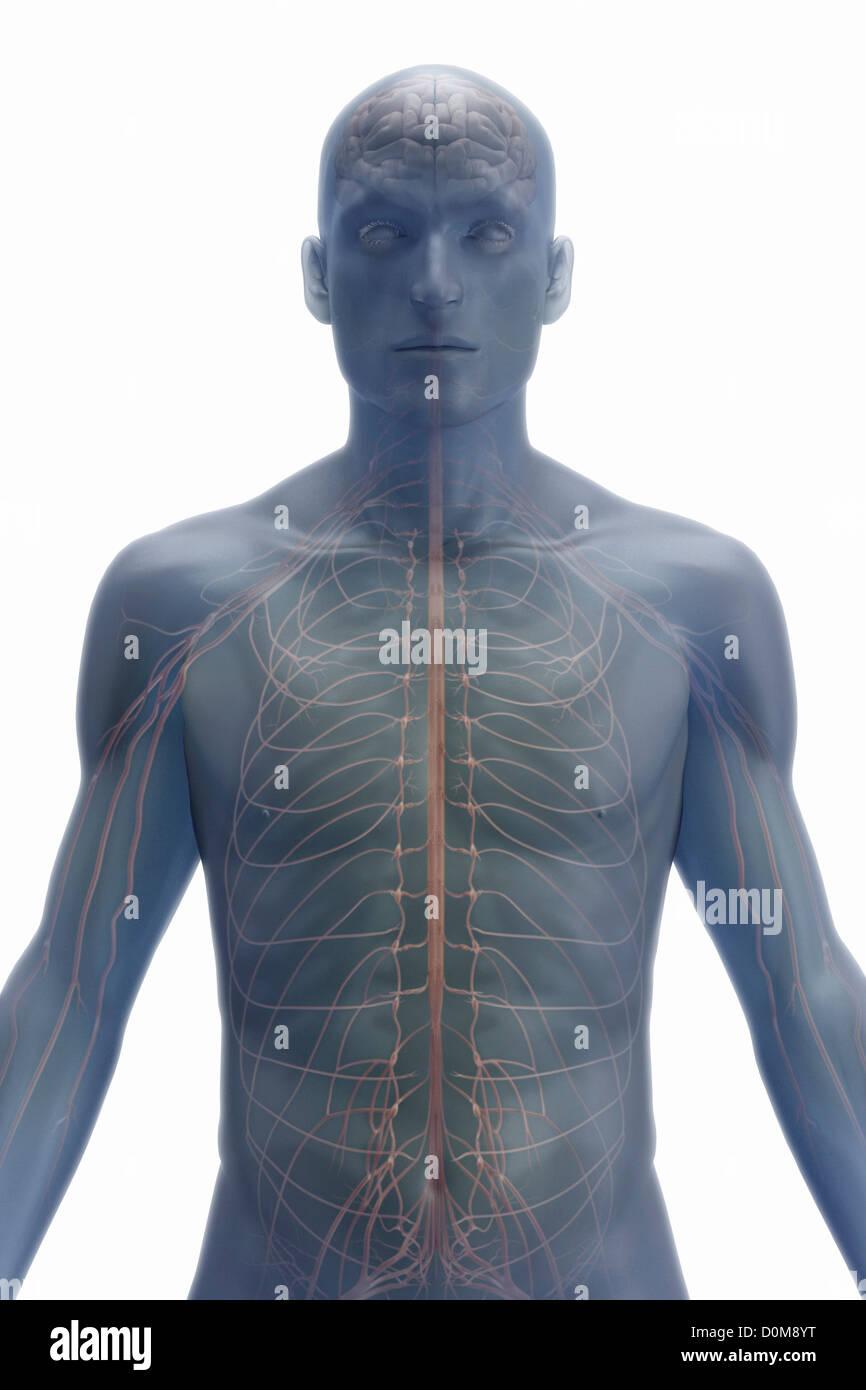 Atemberaubend Appendix Stelle In Körper Fotos - Physiologie Von ...