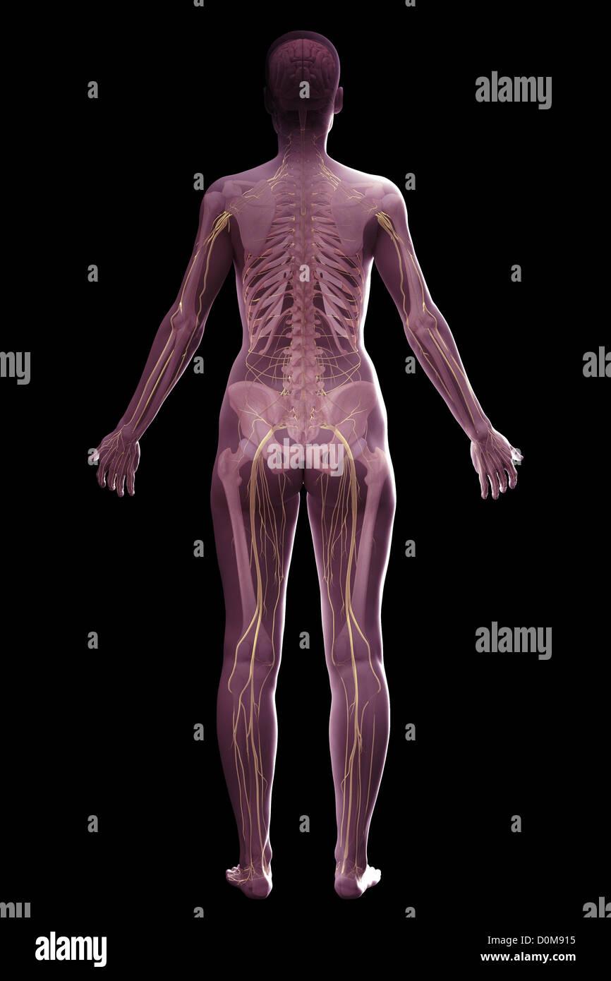 Fantastisch Systeme Des Körpers Zeitgenössisch - Physiologie Von ...