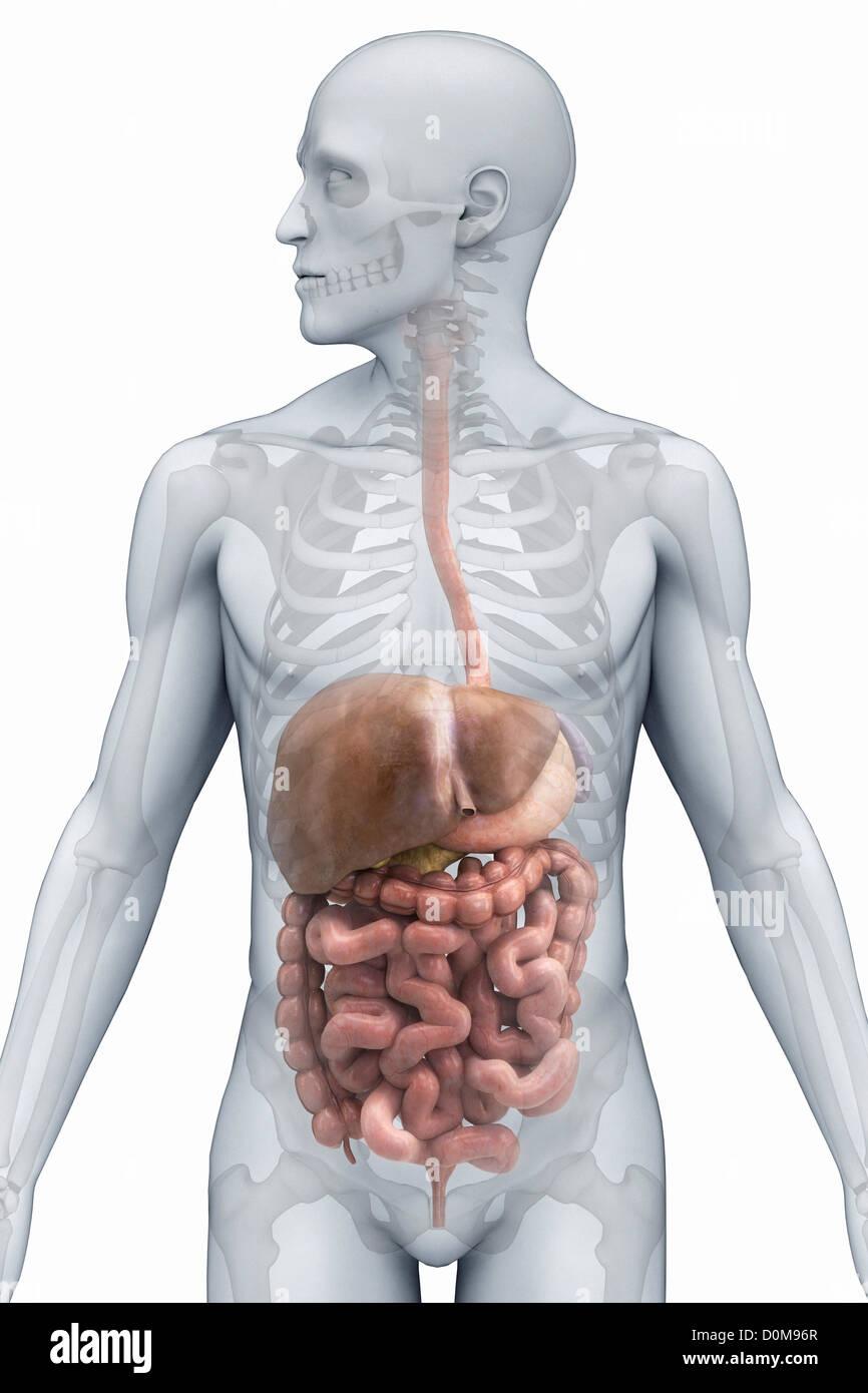 Tolle Männlich Verdauungssystem Ideen - Menschliche Anatomie Bilder ...