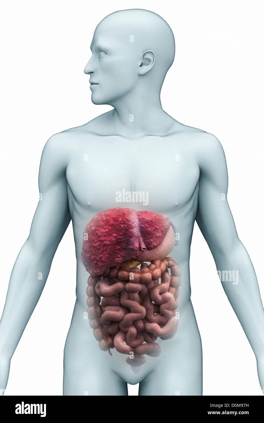 Vorderansicht Organe Verdauungssystem in männliche Figur. Leber ist ...