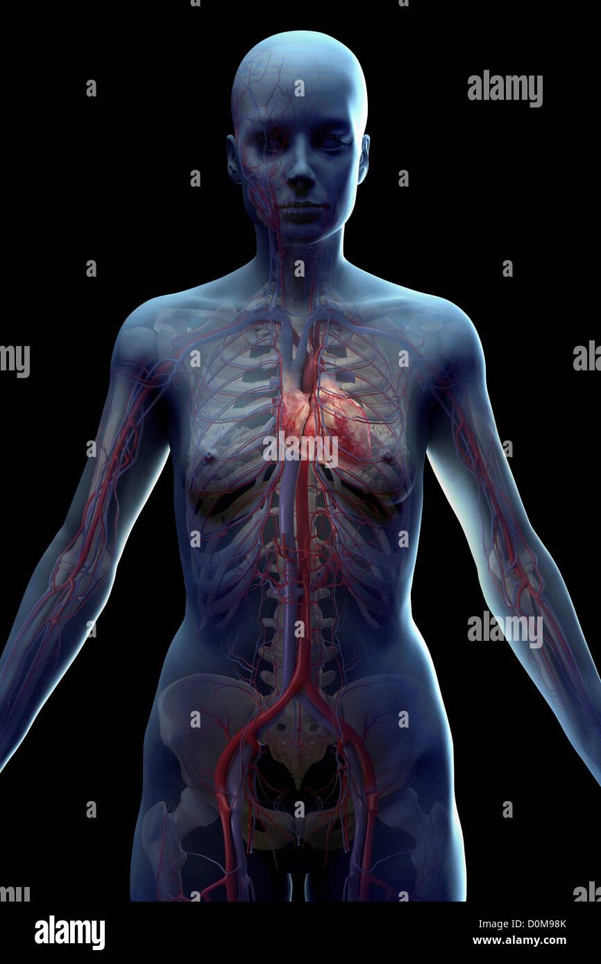 Das weibliche Herz-Kreislauf-System des Oberkörpers mit der Haut ...