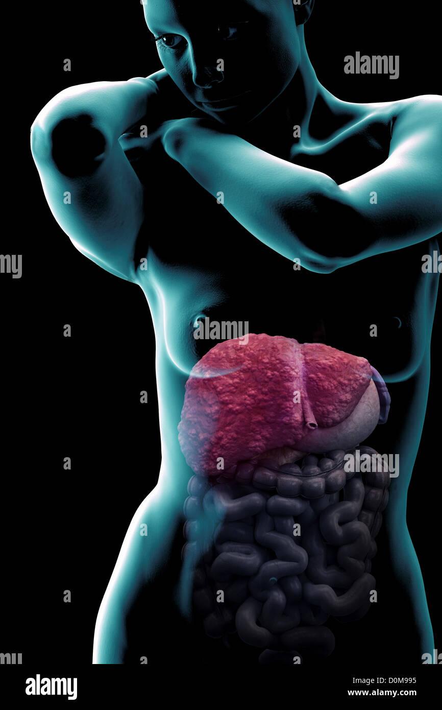Gemütlich Leber Gallen System Anatomie Fotos - Menschliche Anatomie ...