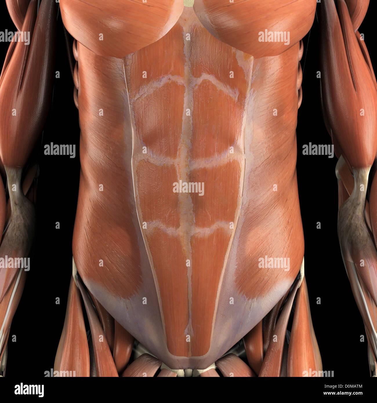 Anatomisches Modell zeigt die Bauchmuskeln Stockfoto, Bild: 52078676 ...