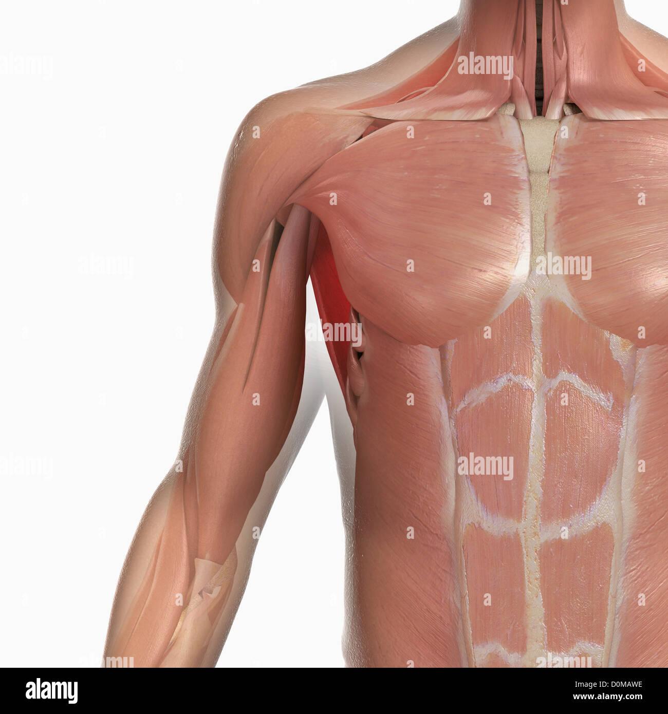 Berühmt Deltoidmuskel Bilder - Anatomie Und Physiologie Knochen ...