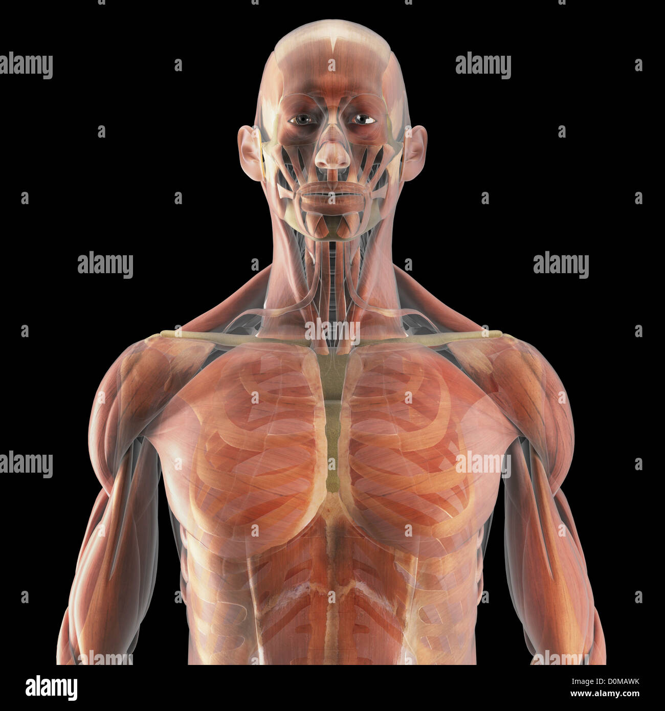Niedlich Hauptmuskelgruppen Anatomie Bilder - Menschliche Anatomie ...