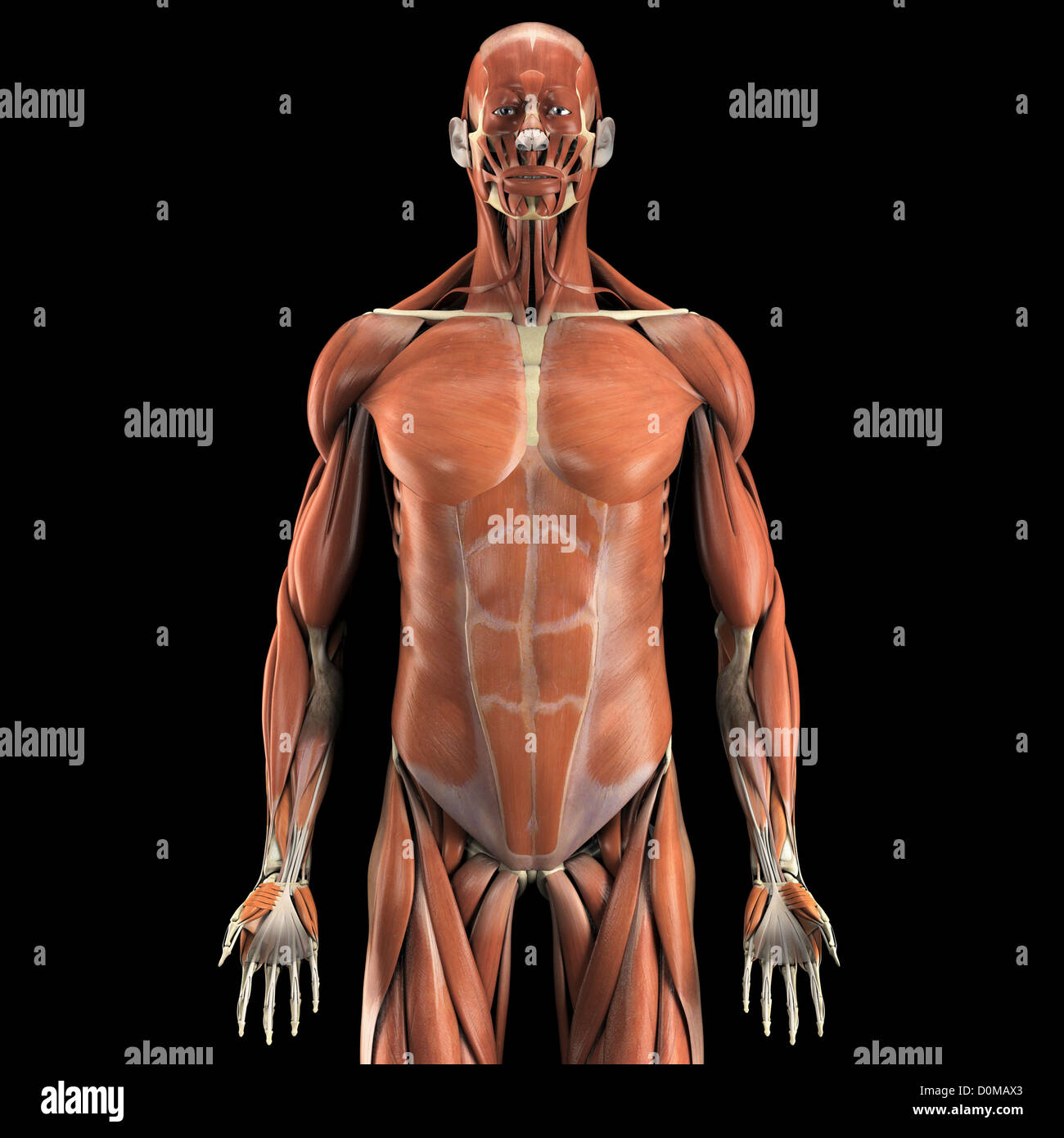 Beste 4d Menschliche Anatomie Modell Fotos - Physiologie Von ...