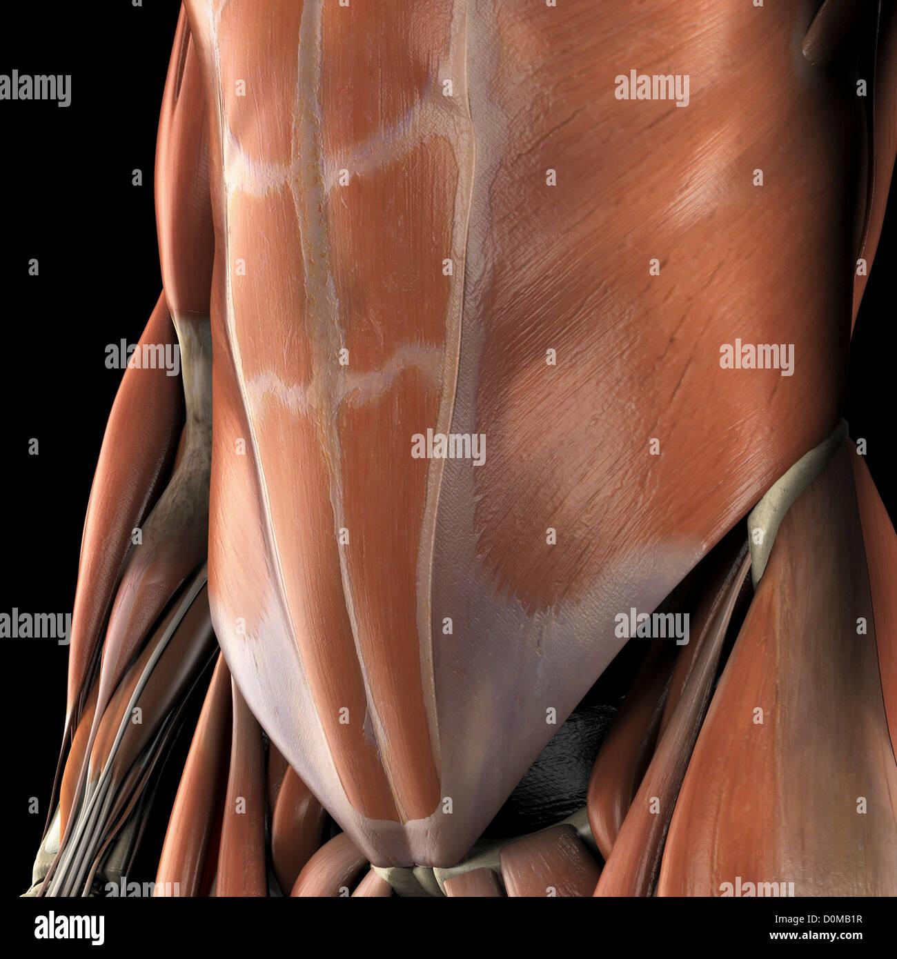 Anatomisches Modell zeigt die unteren Bauchmuskeln Stockfoto, Bild ...