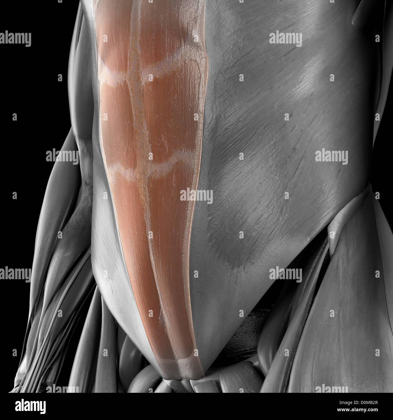 Ein menschliches Modell zeigt die unteren Bauchmuskeln Stockfoto ...