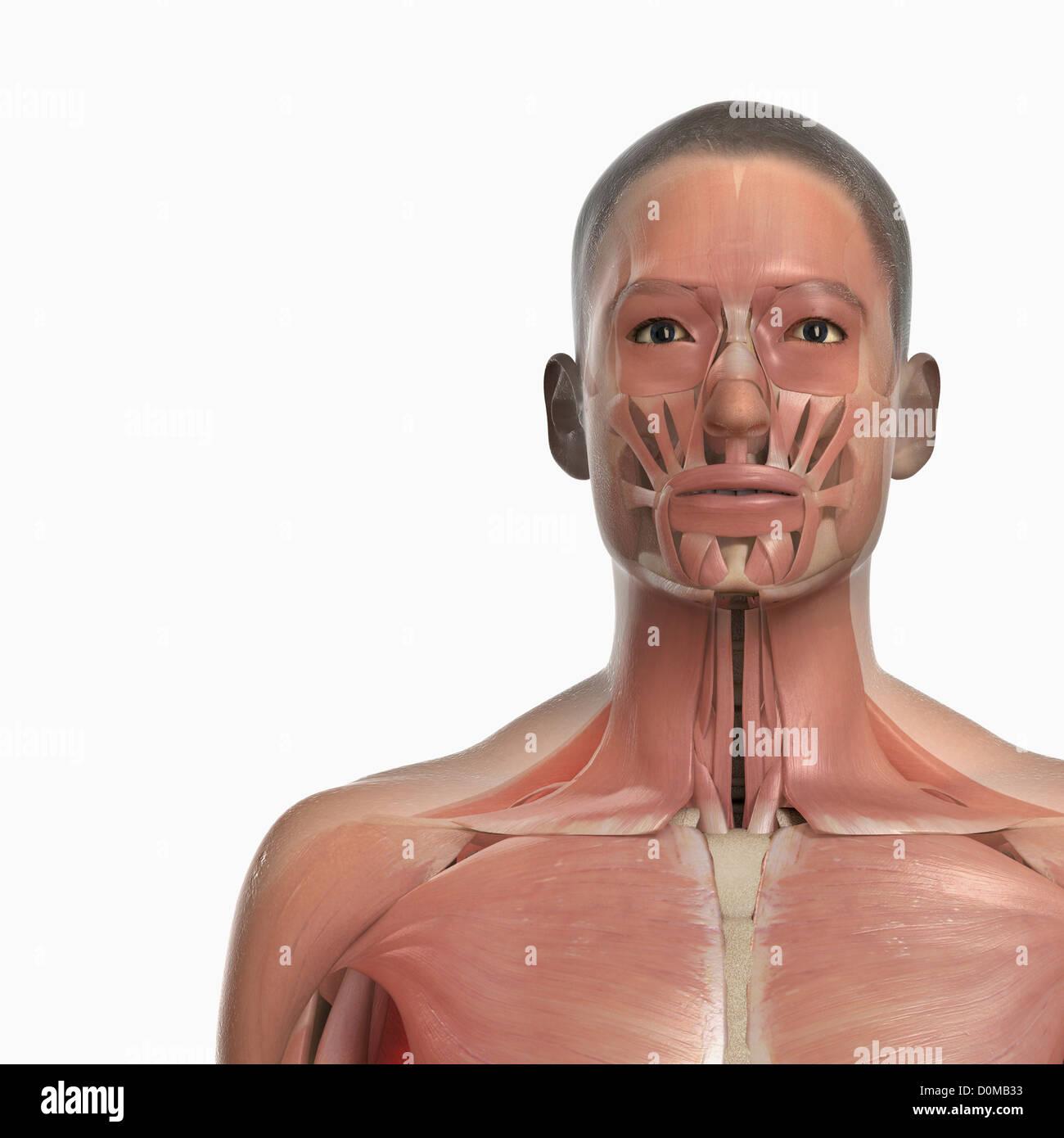 Großartig Gesicht Und Nackenmuskulatur Bilder - Menschliche Anatomie ...