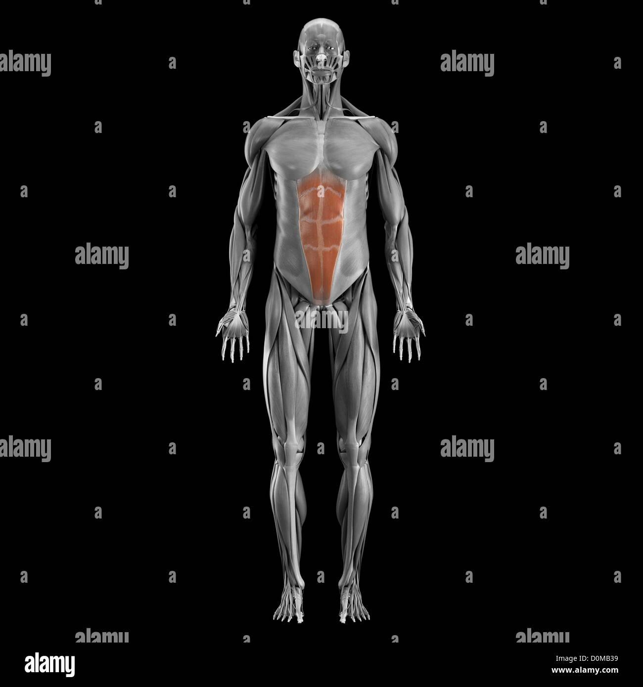 Ausgezeichnet Bauchmuskeln Diagramm Bilder - Anatomie Von ...