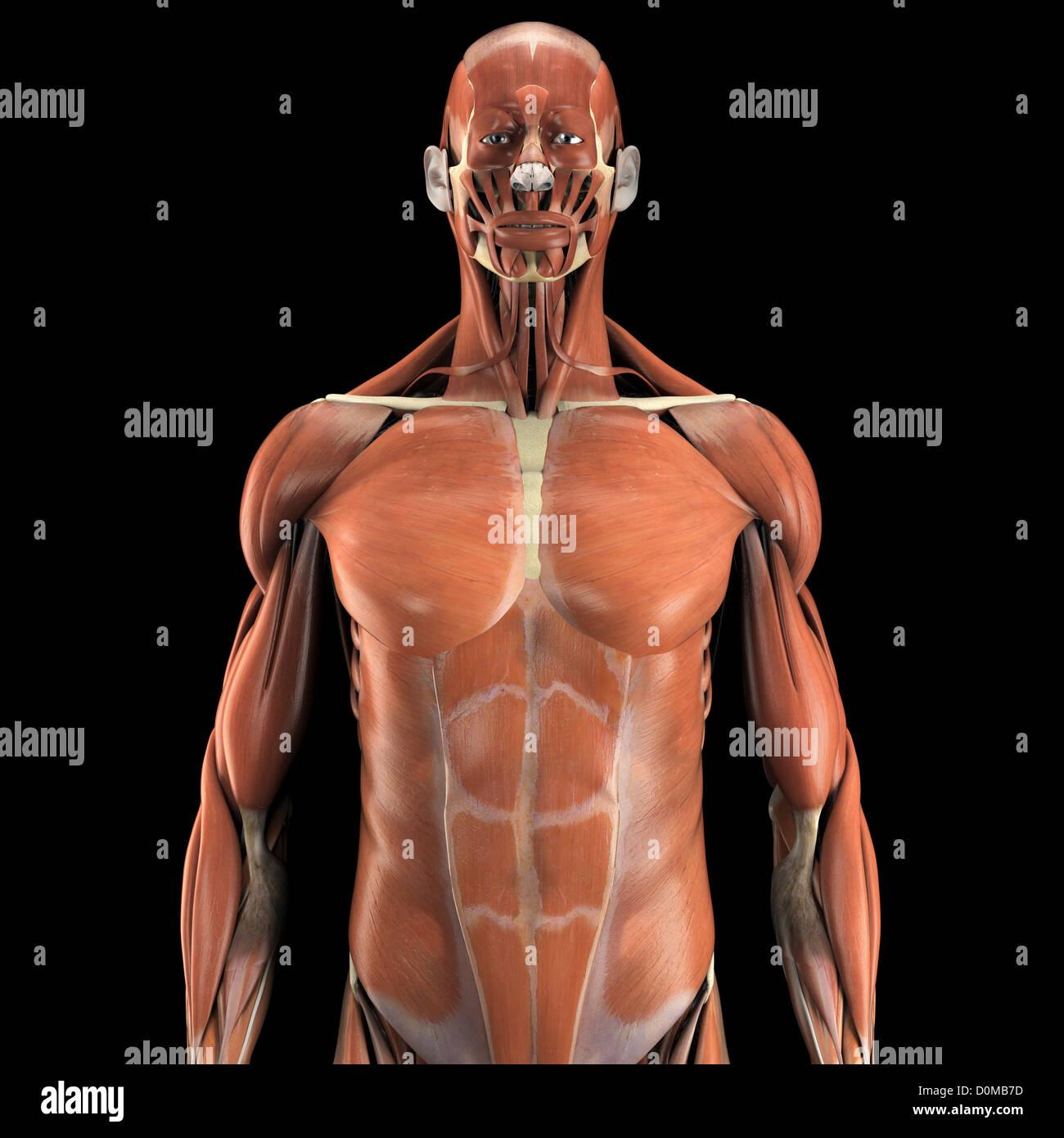 Großartig Menschlicher Muskel Anatomie Modell Ideen - Physiologie ...