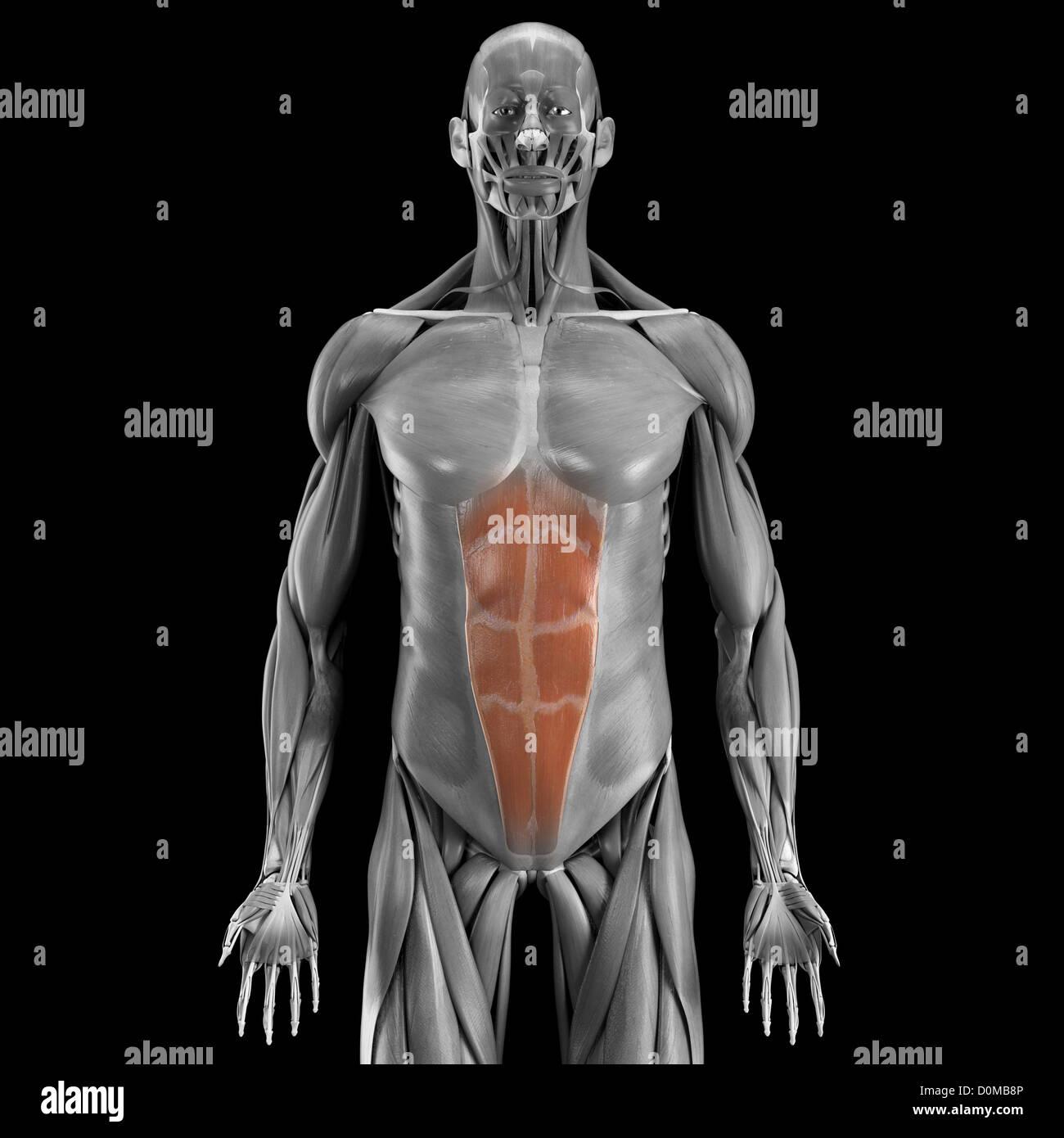 Erfreut Saladin Menschliche Anatomie Bilder - Menschliche Anatomie ...