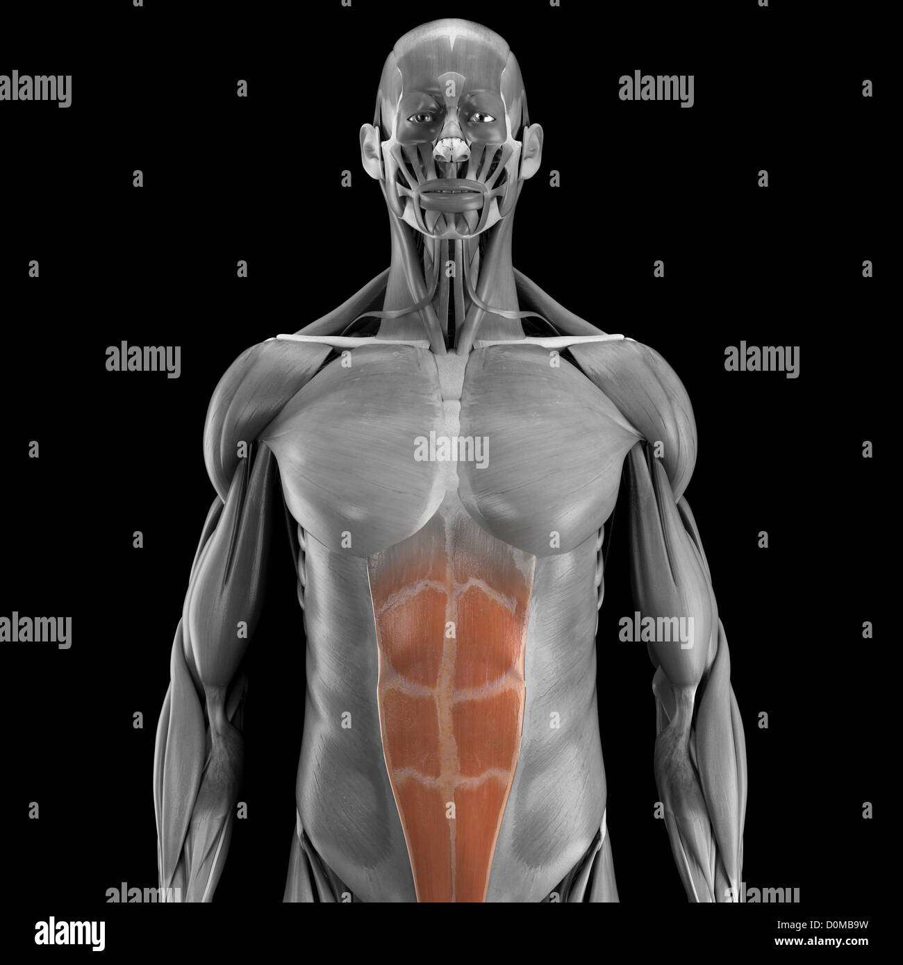 Gemütlich Menschliche Anatomie Und Physiologie Marieb 8. Auflage ...