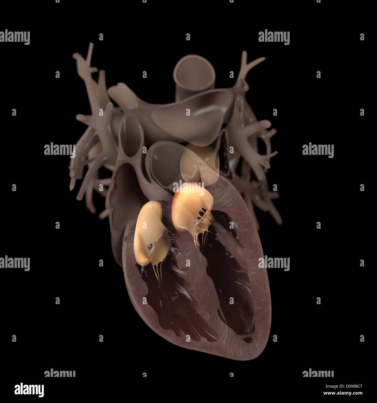 Großzügig Das Diagramm Des Herzens Bilder - Menschliche Anatomie ...