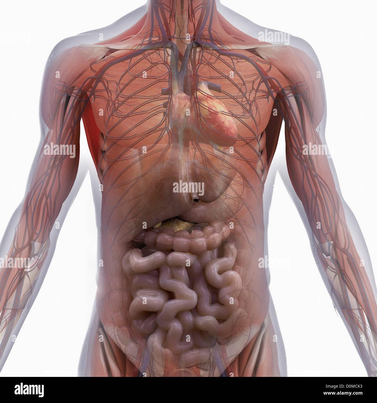 Fantastisch Muskel Arbeitsblatt Für Anatomie Galerie - Menschliche ...