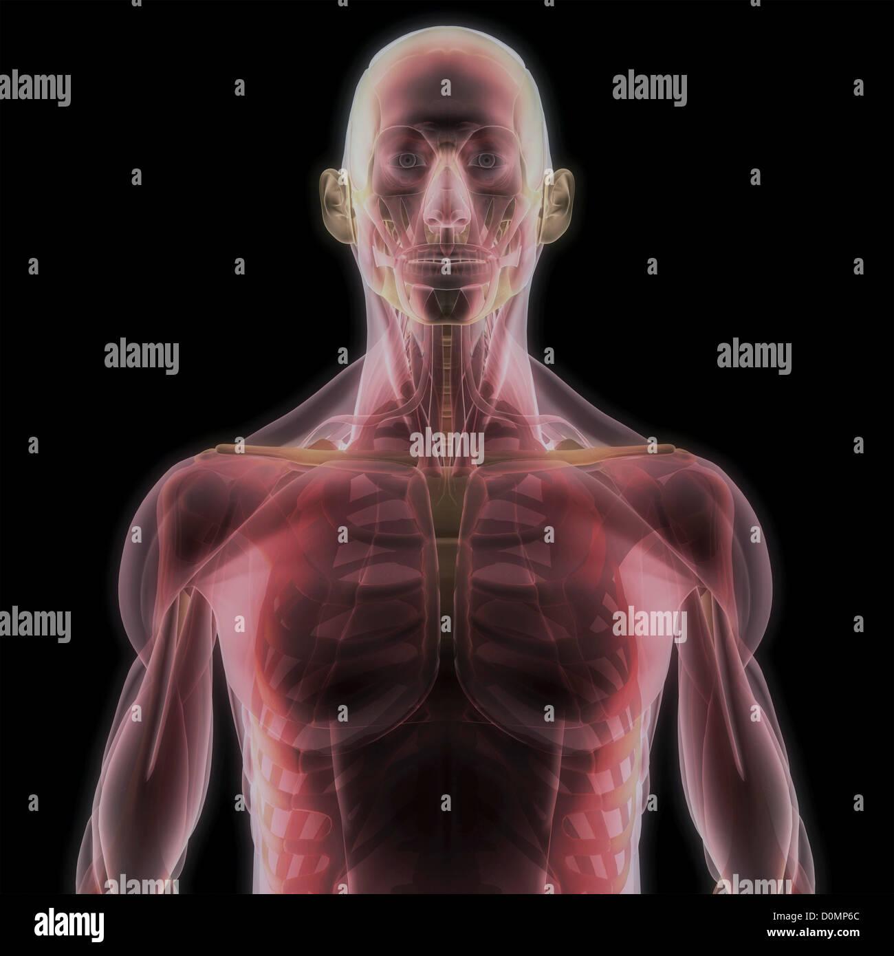 Berühmt Menschliches Skelett Anatomie Modell Bilder - Physiologie ...