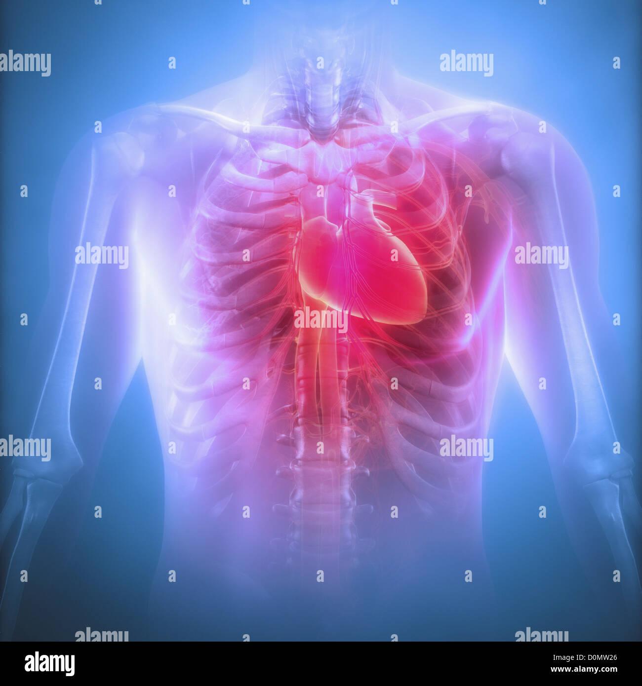 Anatomisches Modell zeigt das menschliche Herz befindet sich in den ...