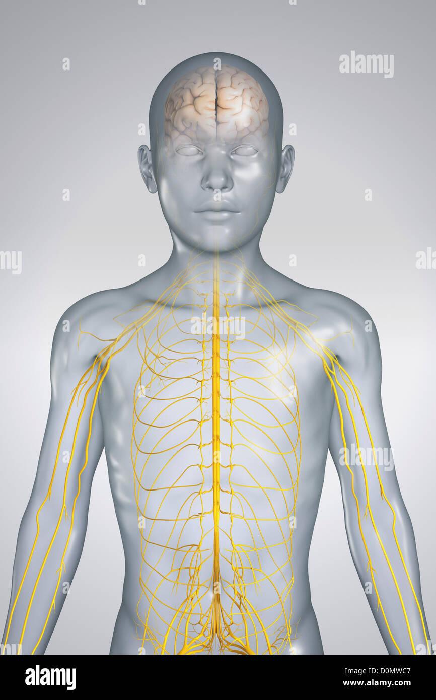 Tolle Nervensystem Spiele Für Anatomie Bilder - Menschliche Anatomie ...