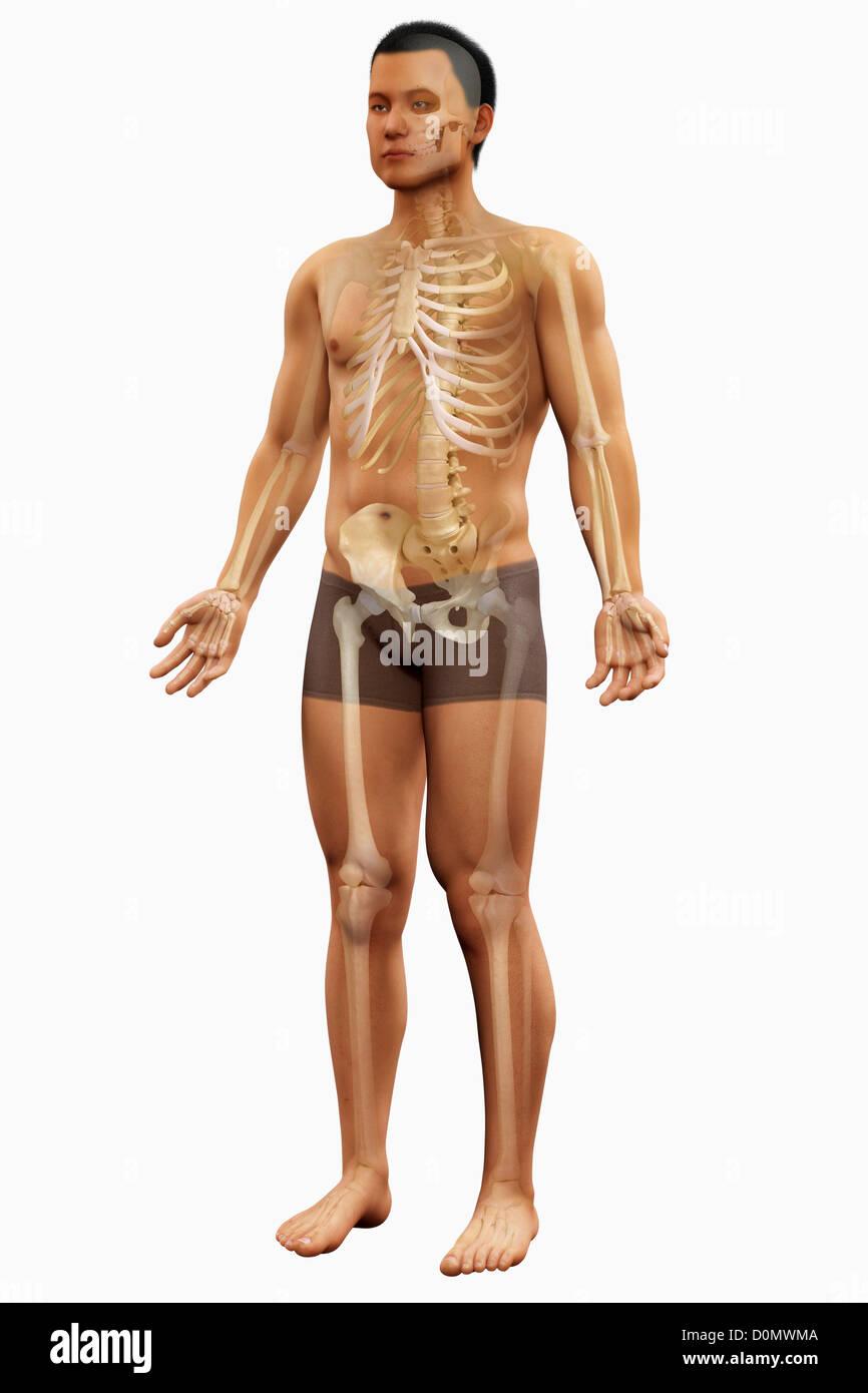 Anatomisches Modell zeigt die Knochen, die die menschliche Skelett ...