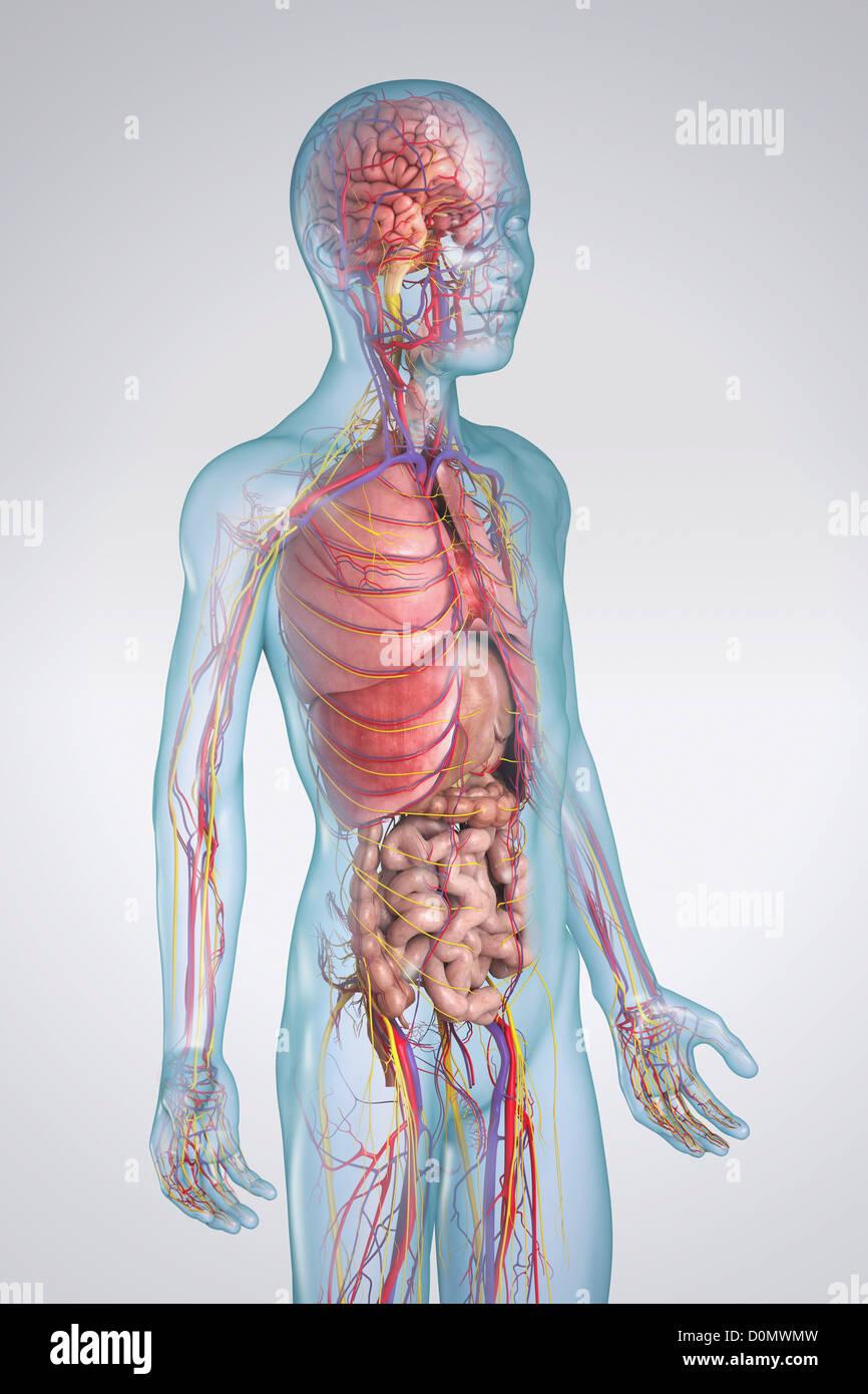 Fein Endokrine Systemfunktion Galerie - Menschliche Anatomie Bilder ...