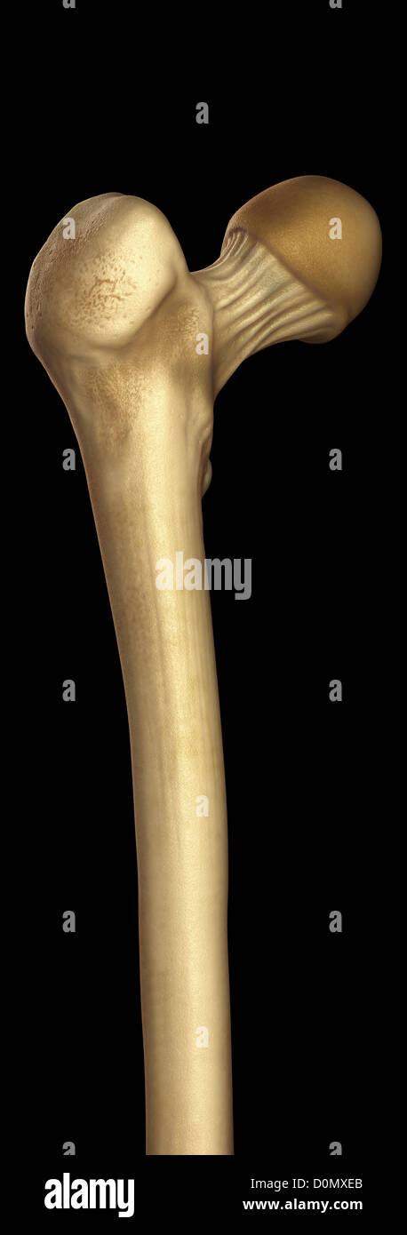 Modell zeigt am oberen Ende der Oberschenkelknochen. Stockfoto