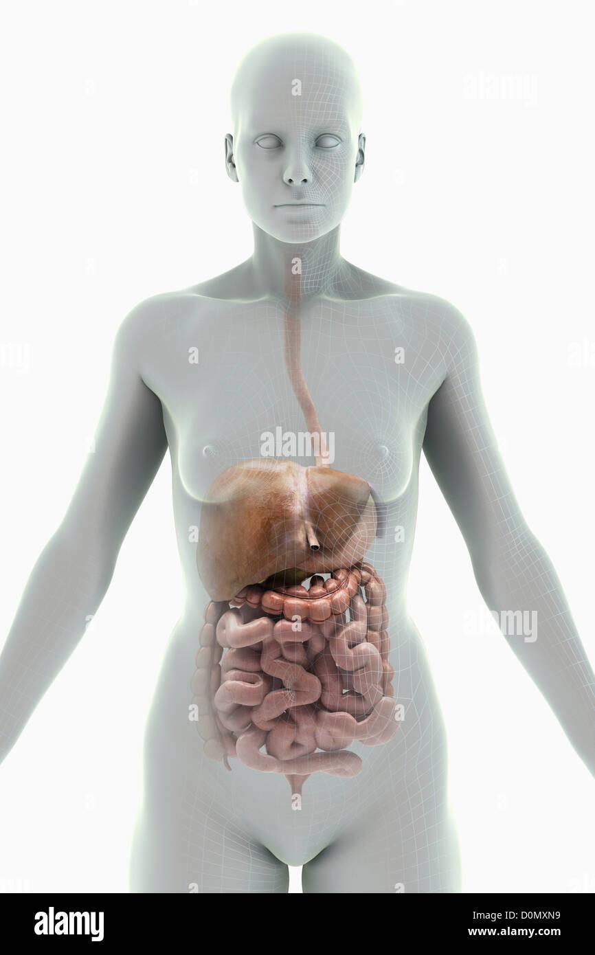 Groß Verdauungssystem Zubehör Organe Galerie - Menschliche Anatomie ...