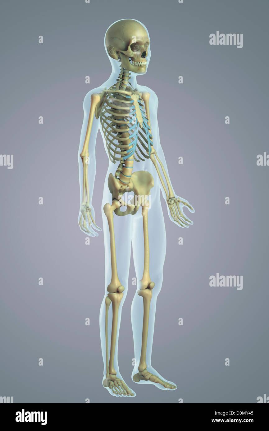 Ausgezeichnet Menschliches Skelett System Markiert Ideen ...