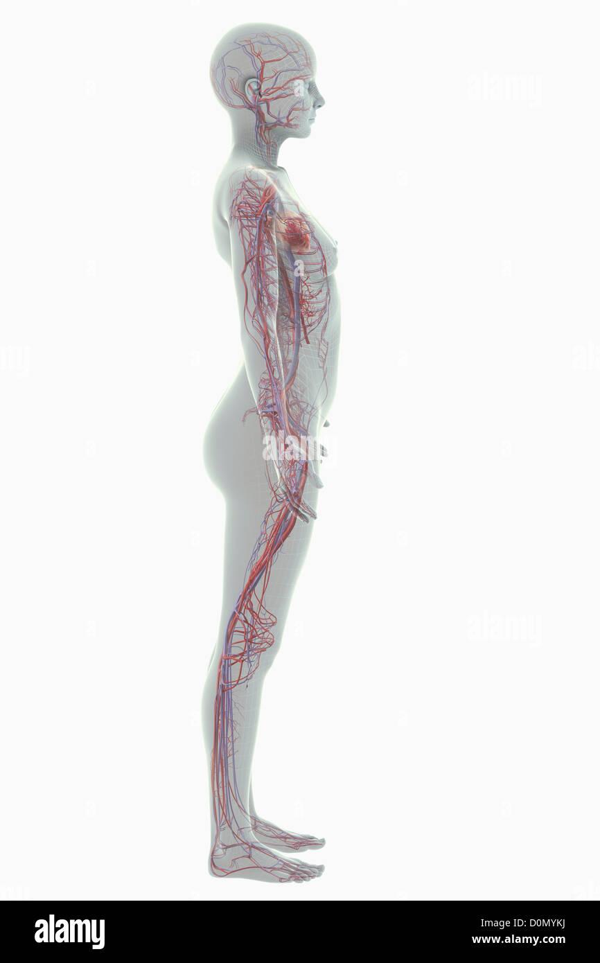 Beste Herz Kreislauf System Blutgefäße Fotos - Menschliche Anatomie ...