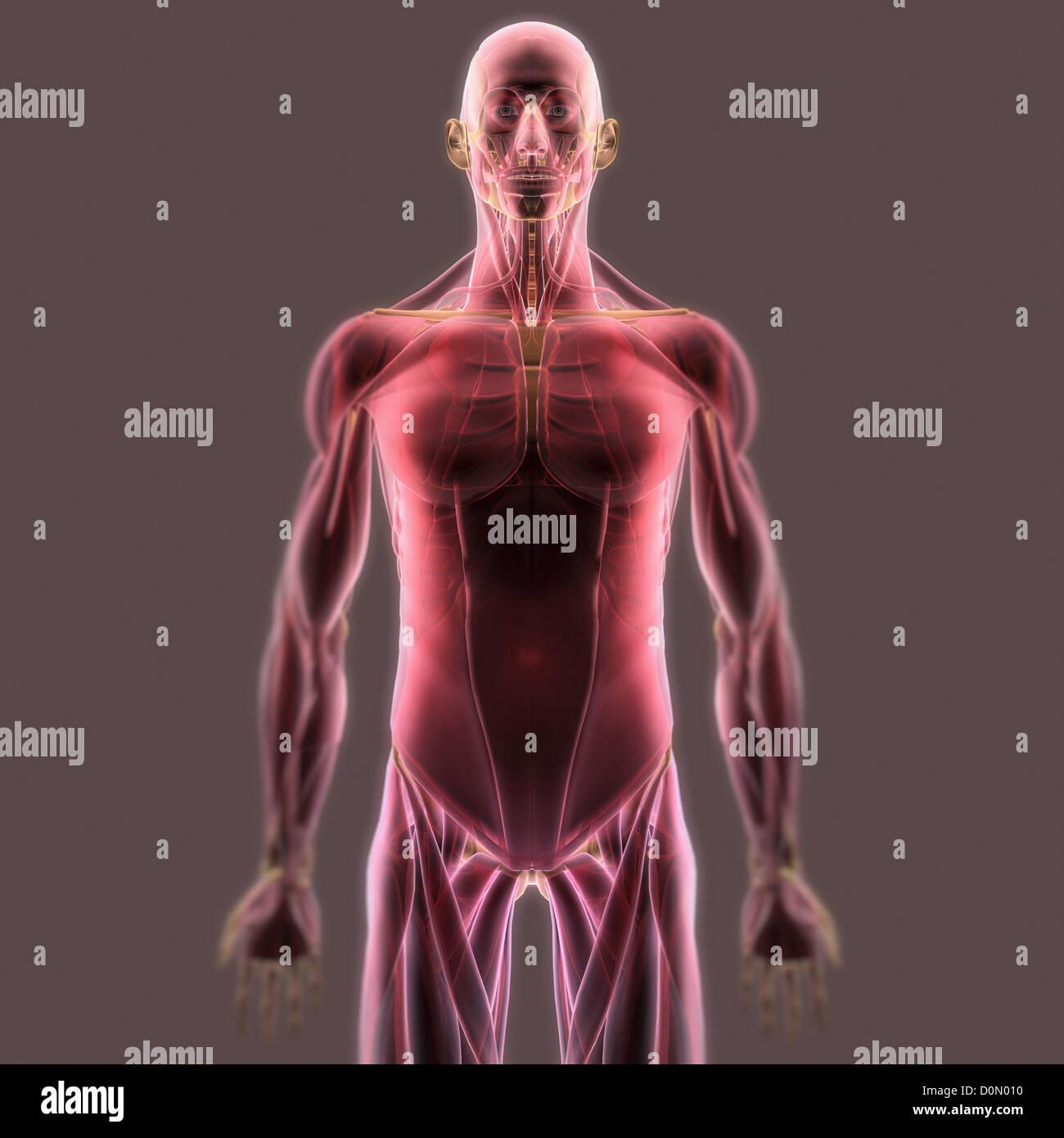 Anatomisches Modell zeigt das menschliche Muskel-System Stockfoto ...