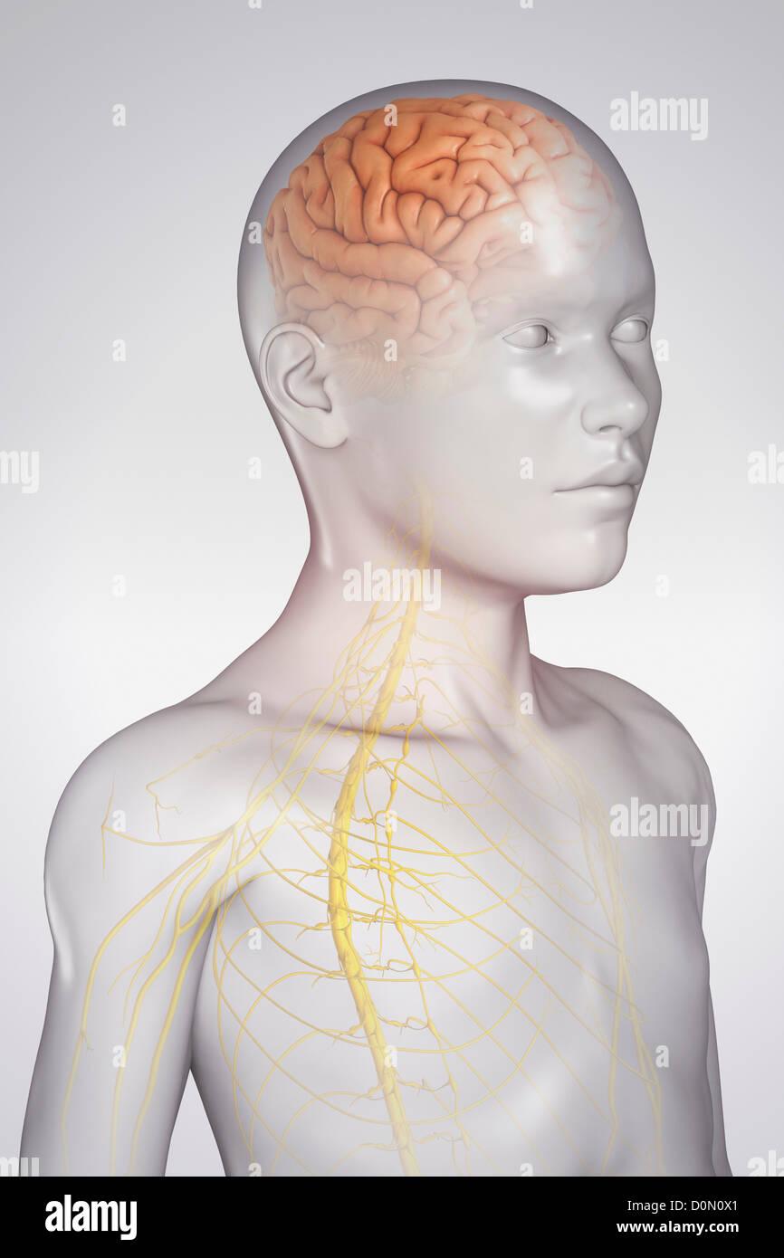 Ziemlich Gehirn Modell Anatomie Ideen - Anatomie Von Menschlichen ...