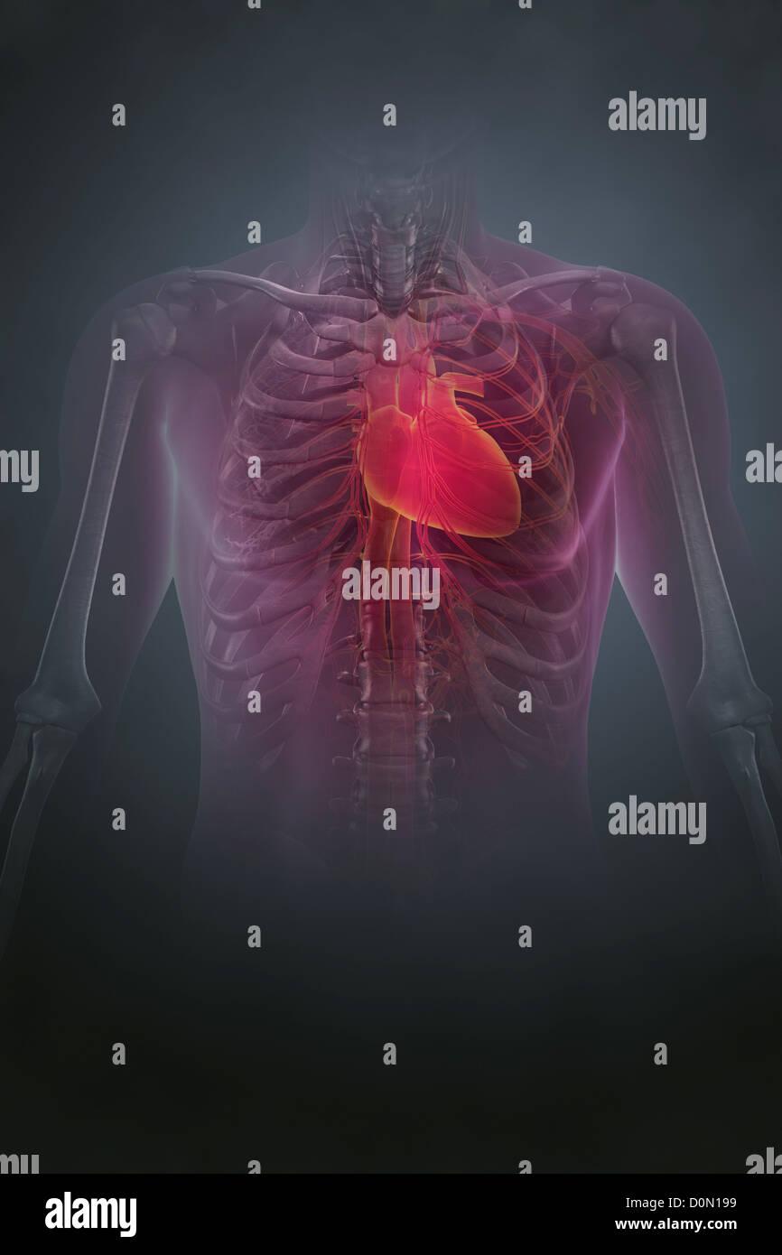 Großzügig Wo Das Menschliche Herz Befindet Bilder - Menschliche ...