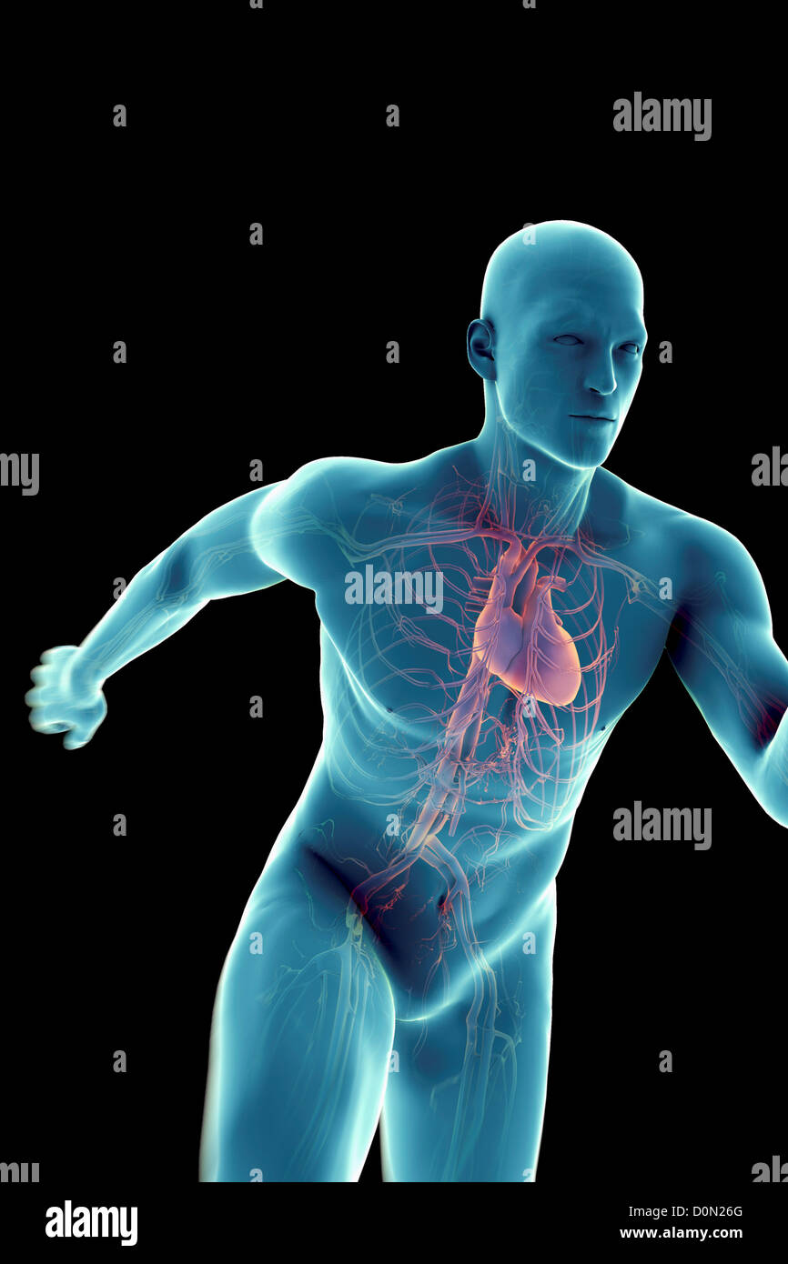 Eine sprinten männliche Figur mit dem Herz-Kreislauf-System und Herz ...