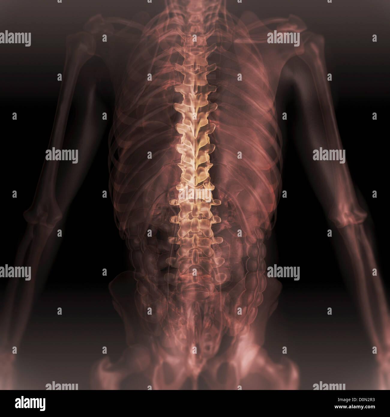 Hintere Ansicht Anatomie zurück transparente Haut offenbart Innere ...