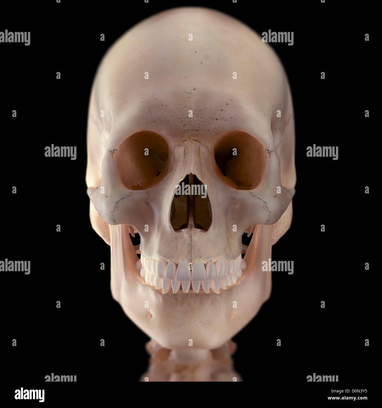 Nett Gesichts Skelett Anatomie Zeitgenössisch - Menschliche Anatomie ...