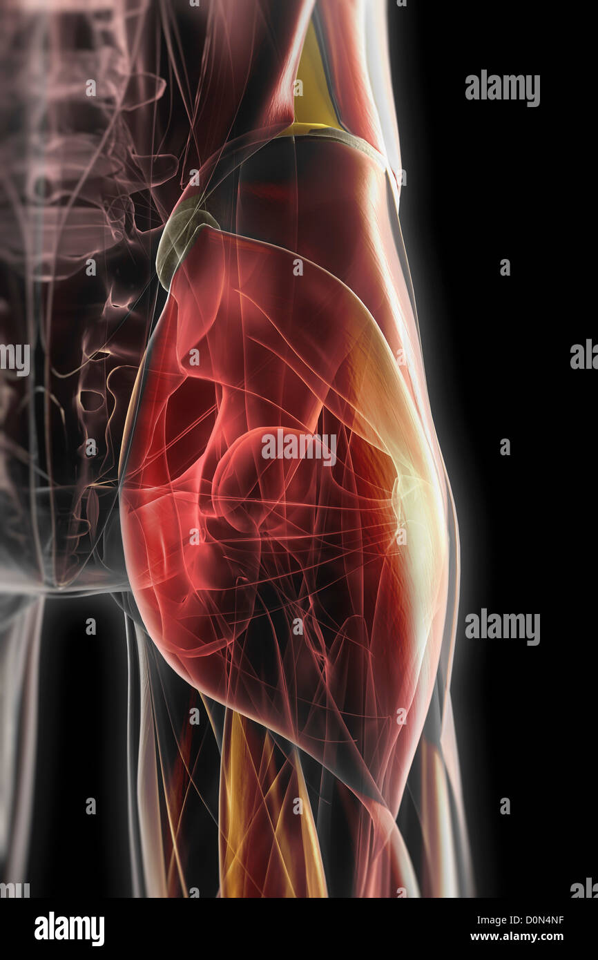 Gluteal Muscles Stockfotos & Gluteal Muscles Bilder - Alamy