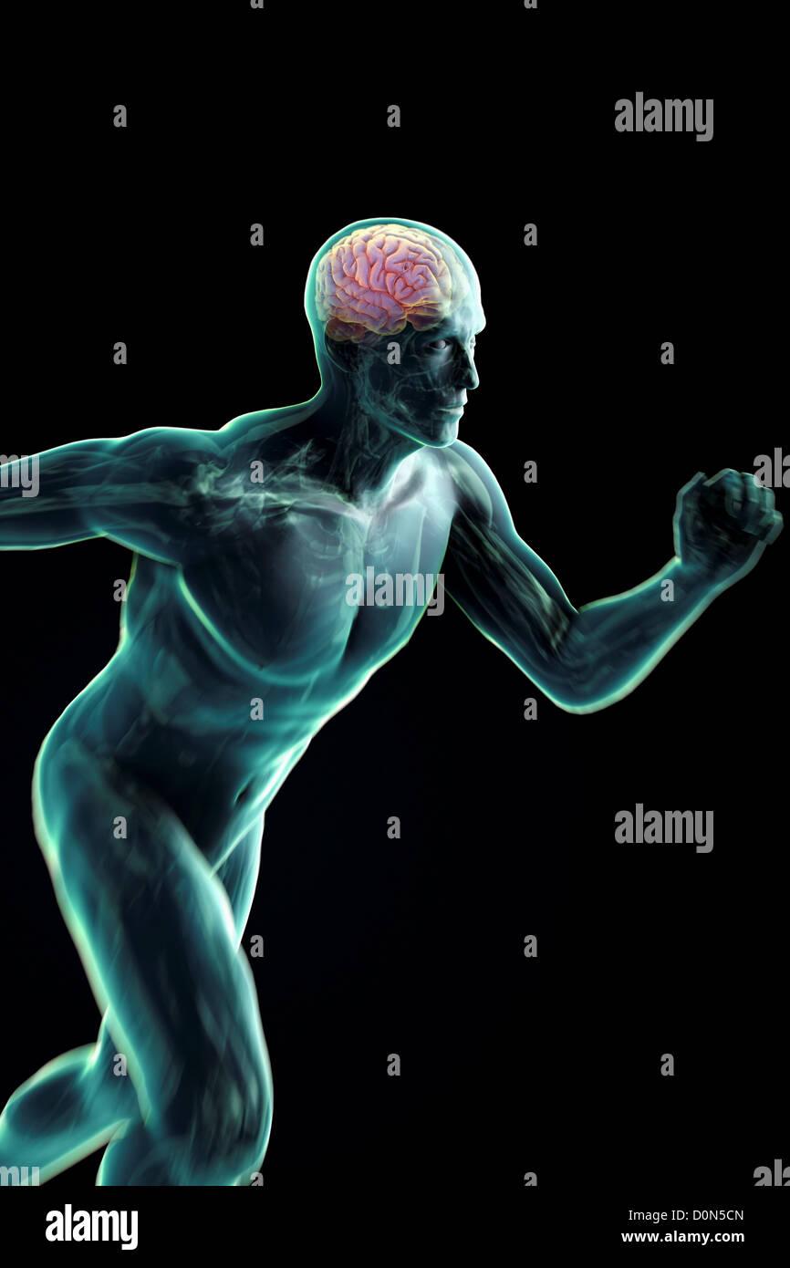 Sprinting Male Figure Internal Organs Stockfotos & Sprinting Male ...