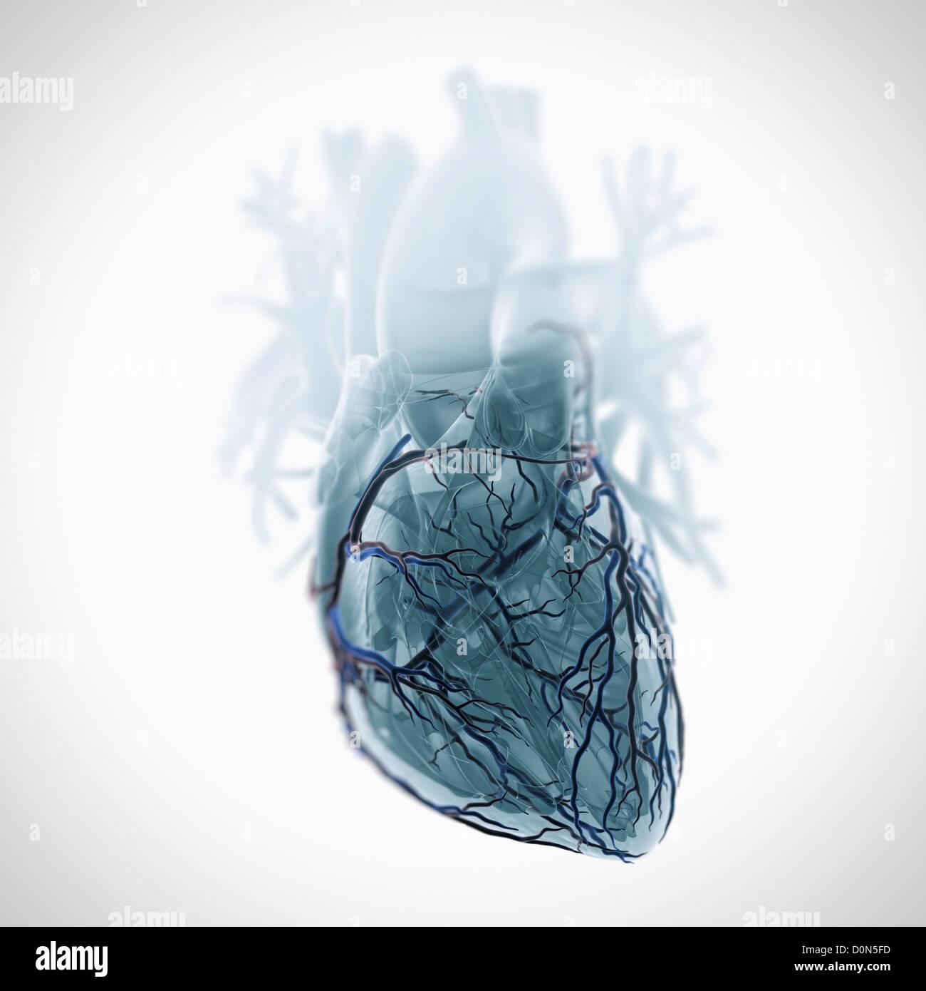 Vorderansicht des Herzens mit Herzkranzgefäße sichtbar eine ...