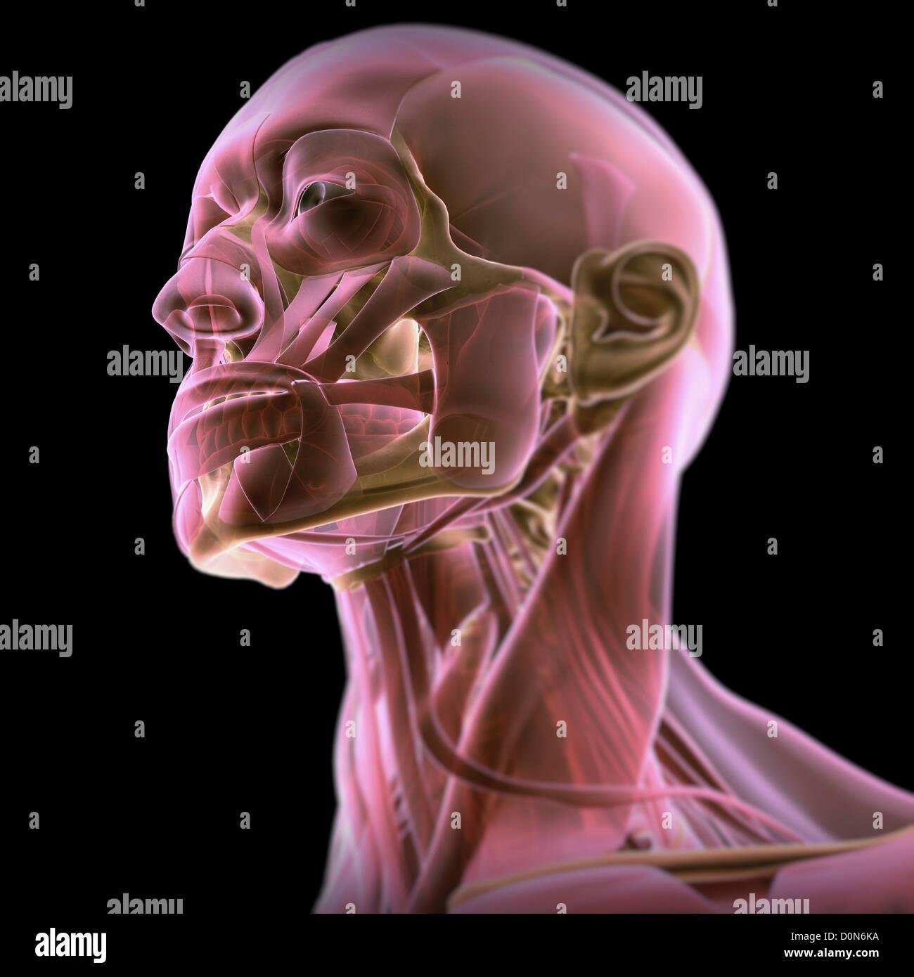 Dreiviertelansicht Anatomie Gesicht Hals. Muskeln sind teilweise ...
