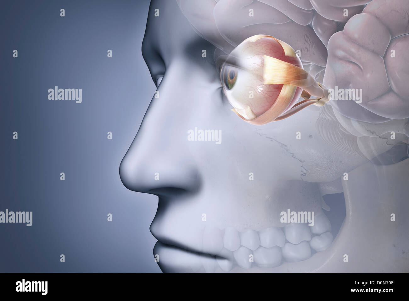 Anatomy Face Pupil Sclera Stockfotos & Anatomy Face Pupil Sclera ...