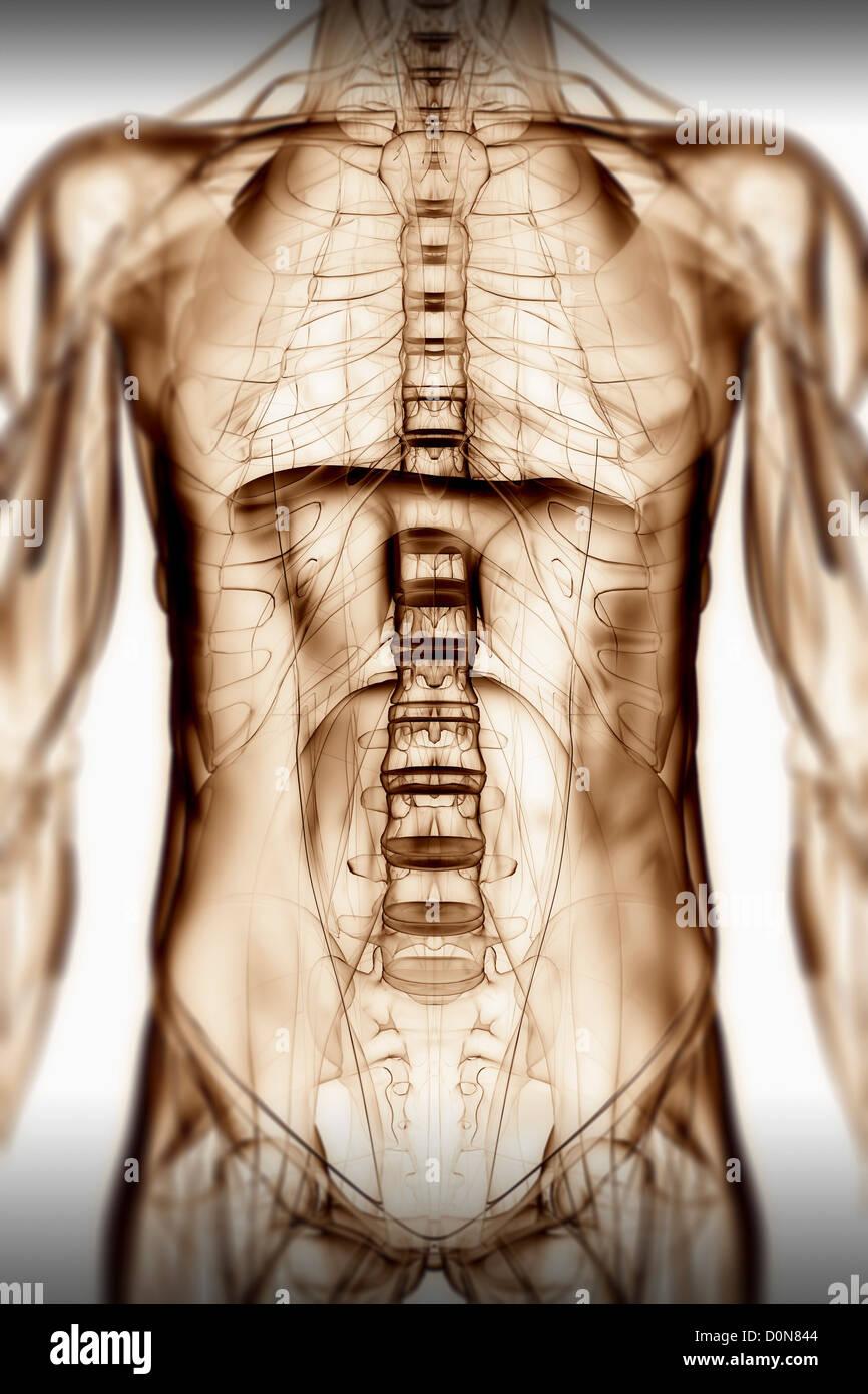 Ziemlich Thorax Muskelanatomie Bilder - Anatomie Von Menschlichen ...