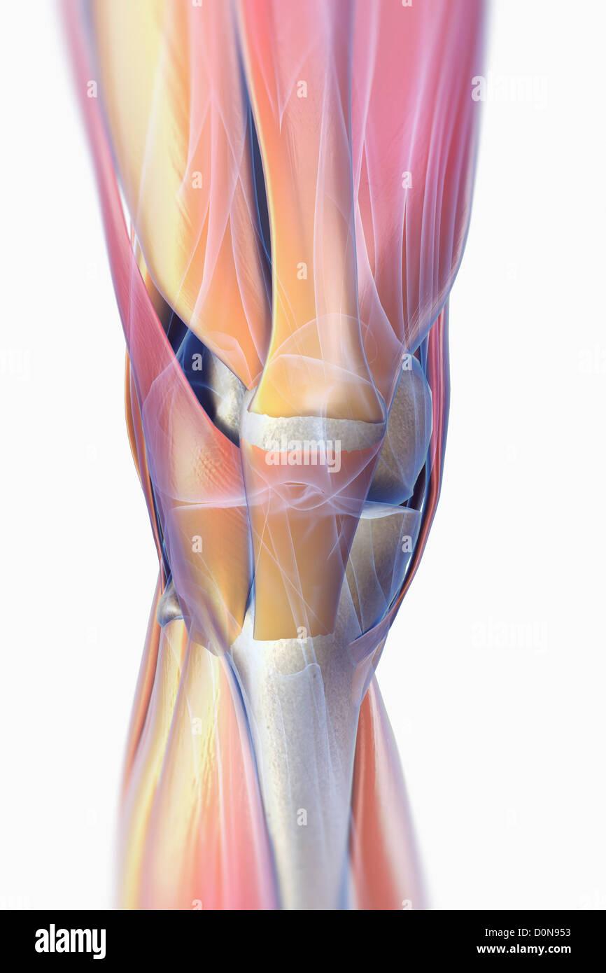 Die Muskeln richtig Knie transparente Skelettstrukturen unter ...