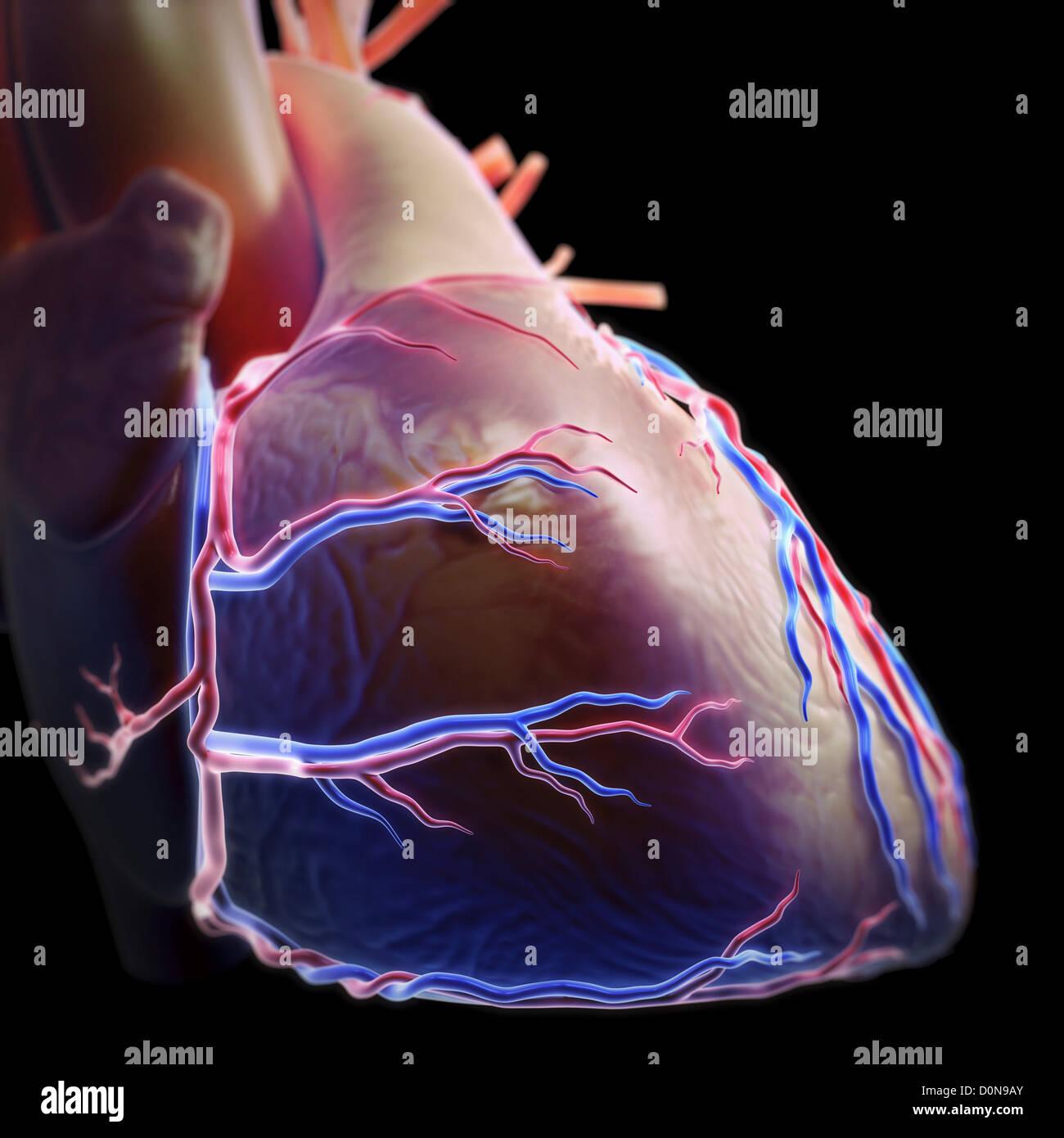 Seitlicher Blick auf die Anatomie des Herzens und der ...