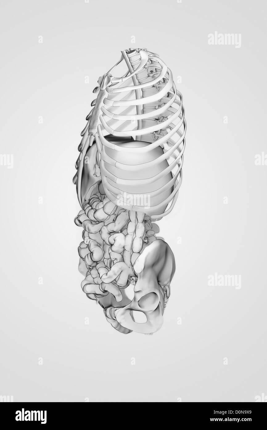 Organe des Verdauungssystems in den Knochen des Rumpfes aus einer ...