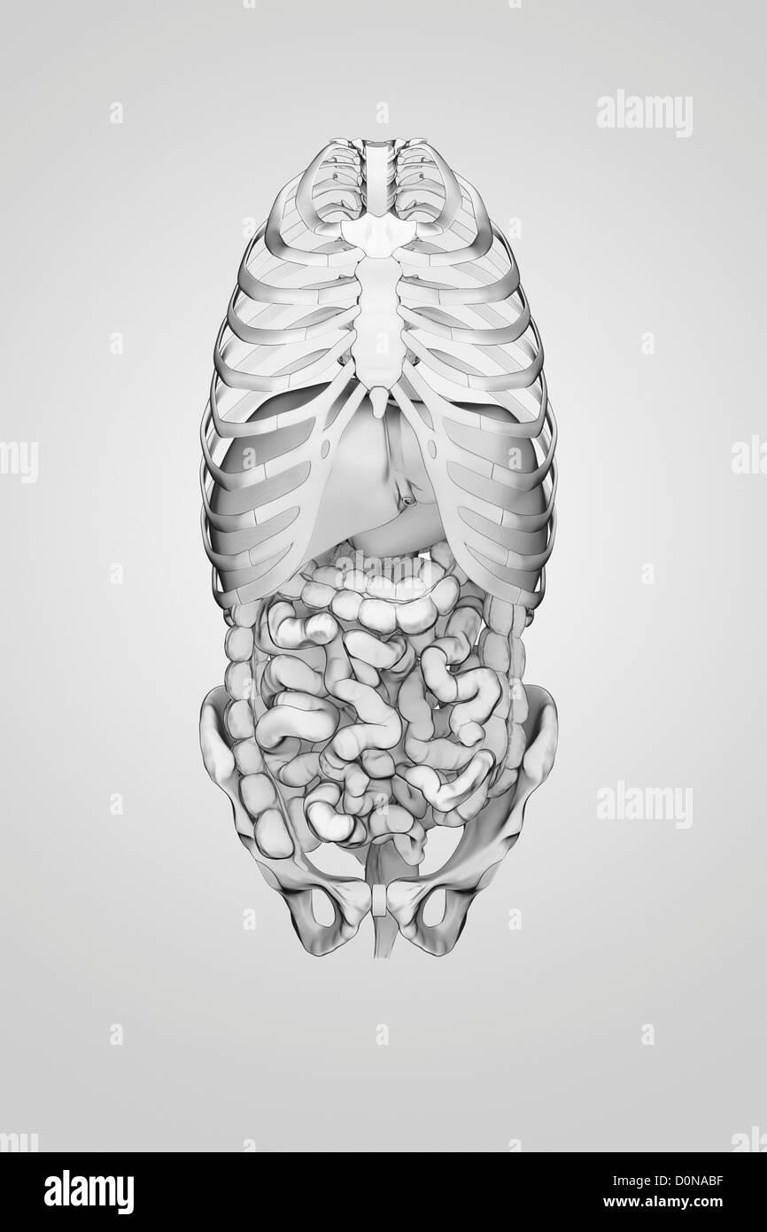 Human Digestive System Front Stockfotos & Human Digestive System ...