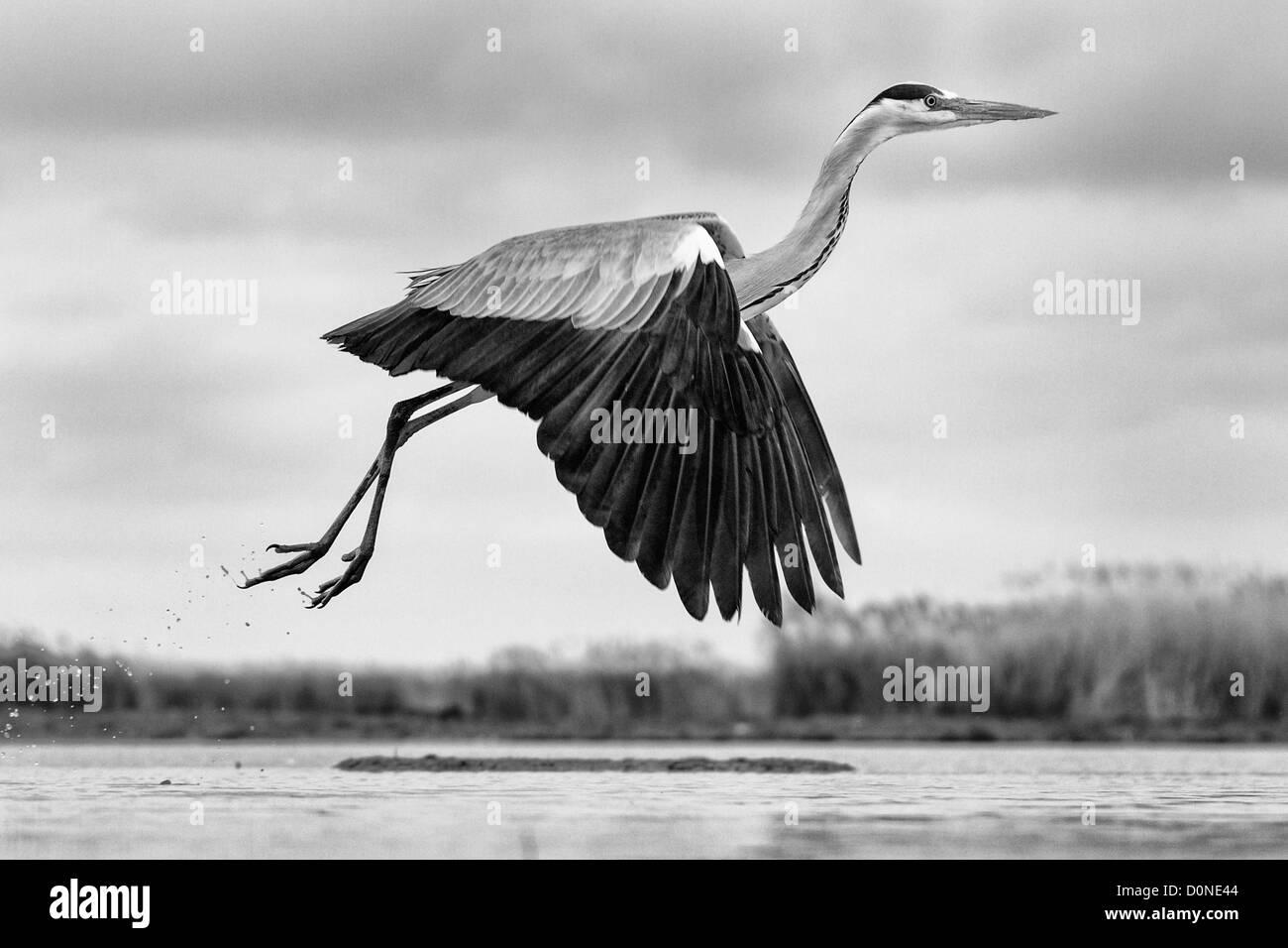 Schwarz / weiß Bild eine niedrig fliegende Graureiher seitlich über einen See Stockbild