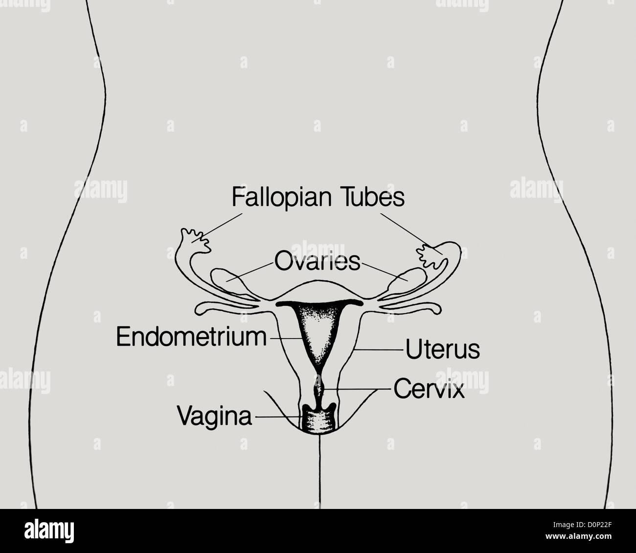 Gemütlich Diagramm Uterus Und Eileitern Ideen - Menschliche Anatomie ...