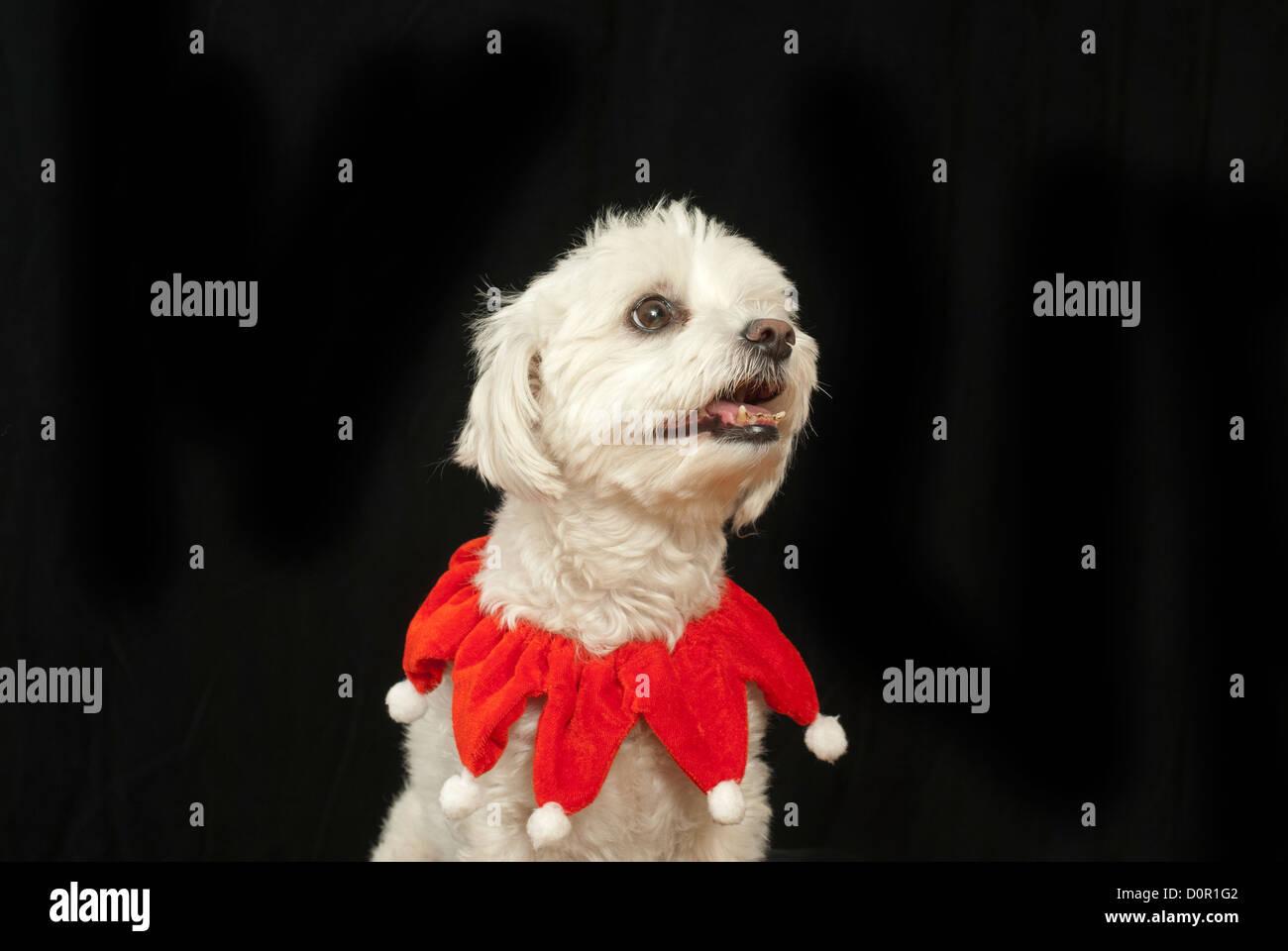 Niedlichen Hund mit Weihnachten Schal Stockfoto, Bild: 52137234 - Alamy